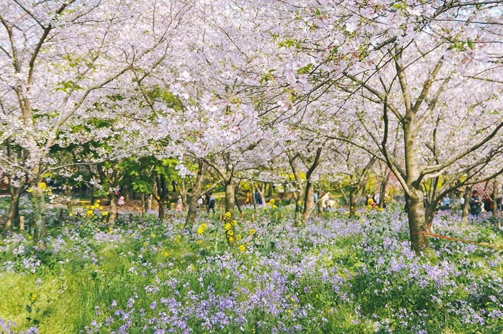 【樱花季】古柏渡樱花已盛开,只等你来!