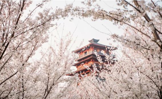 """这个周末让我们一起来""""听""""樱花雨,古柏渡樱花节开始喽!"""