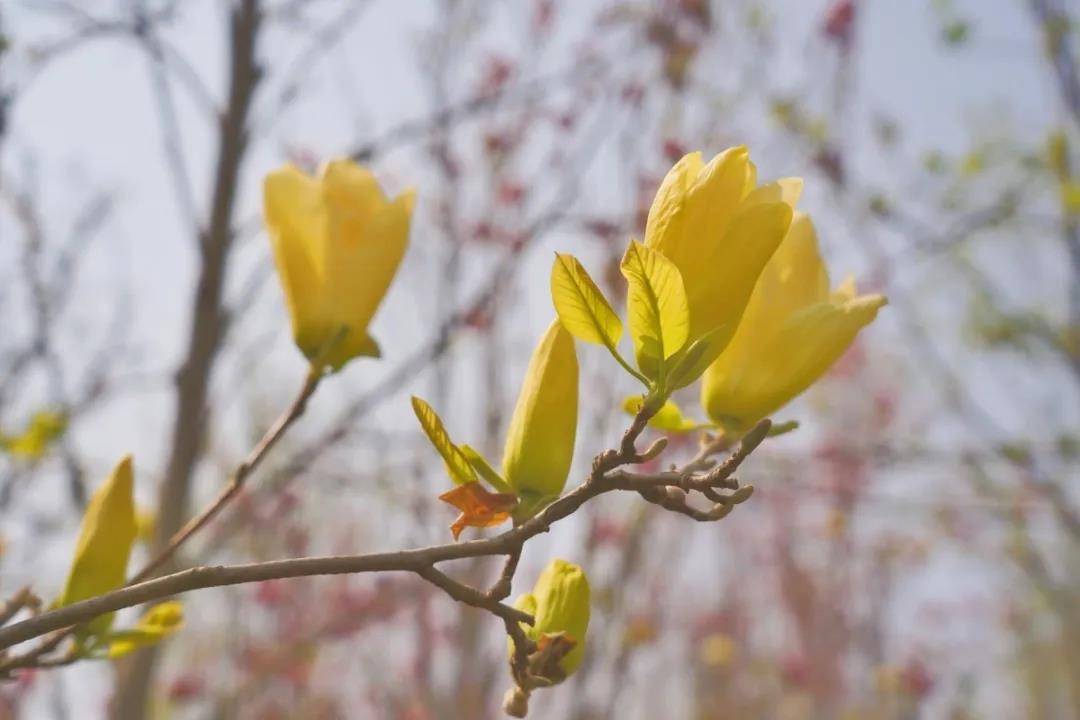园博园玉兰花开了,约上几个好友快去一同赏花吧!