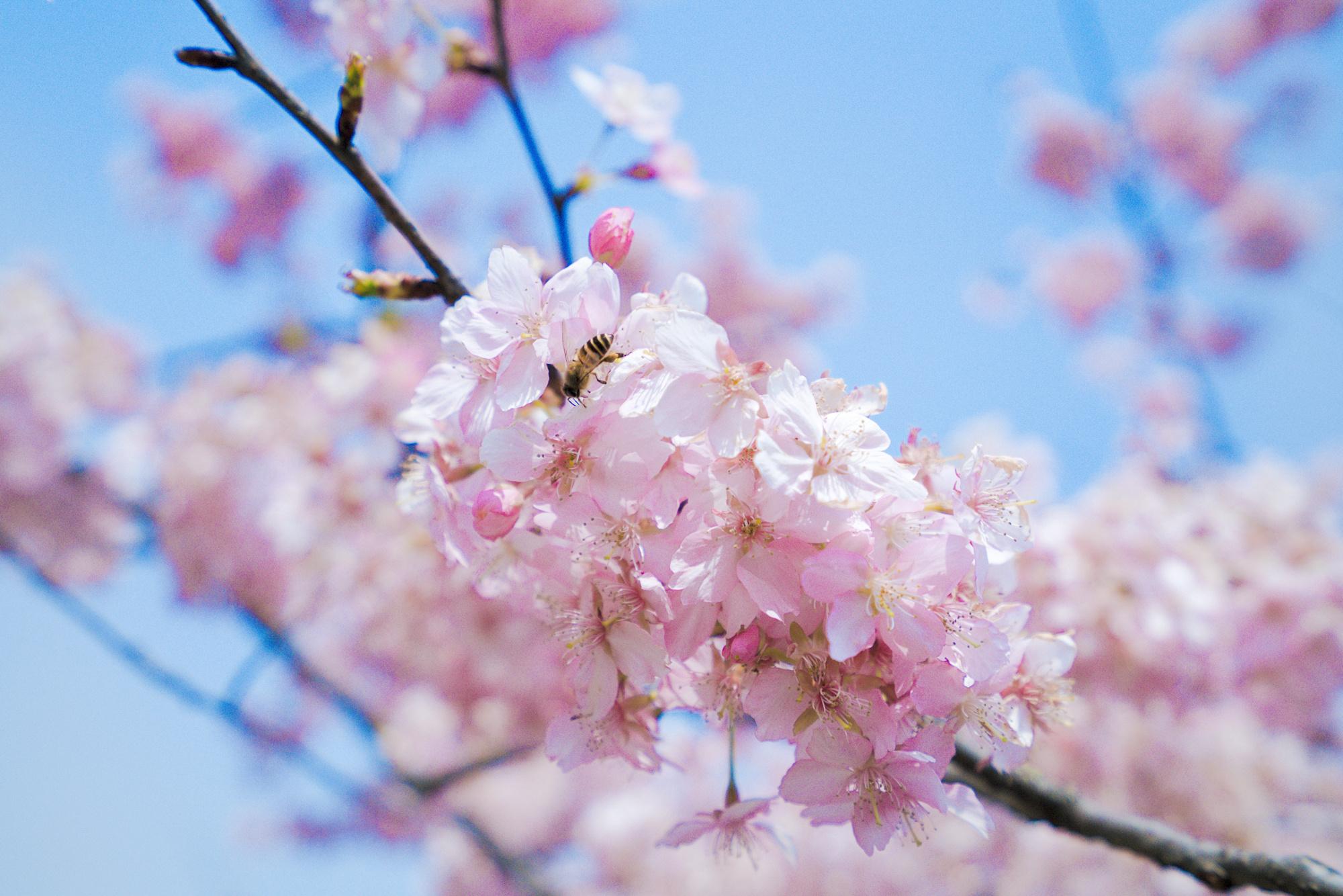孤柏渡樱花节门票,孤柏渡樱花花期