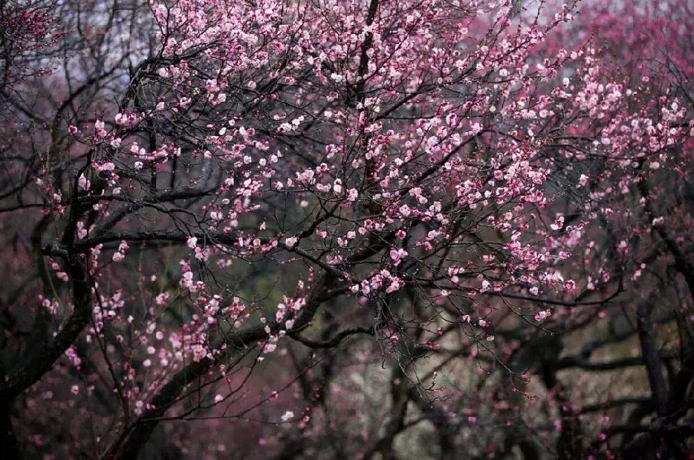 2019南京明孝陵梅花节是什么时候?明孝陵梅花节好玩吗?