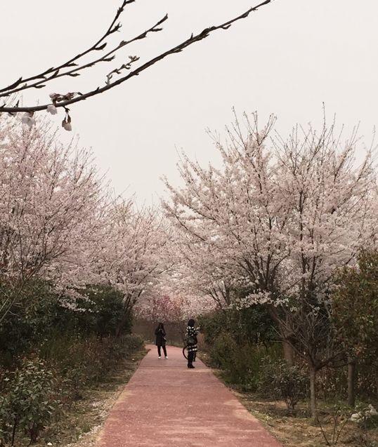 许昌鄢陵唐韵樱花园景区好玩吗?许昌鄢陵唐韵樱花什么时候开?
