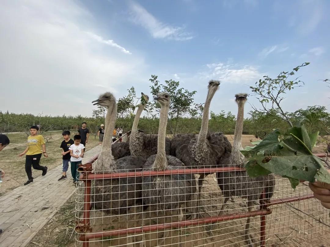 郑州金鹭鸵鸟园攻略、金鹭鸵鸟园怎么样?好玩吗?