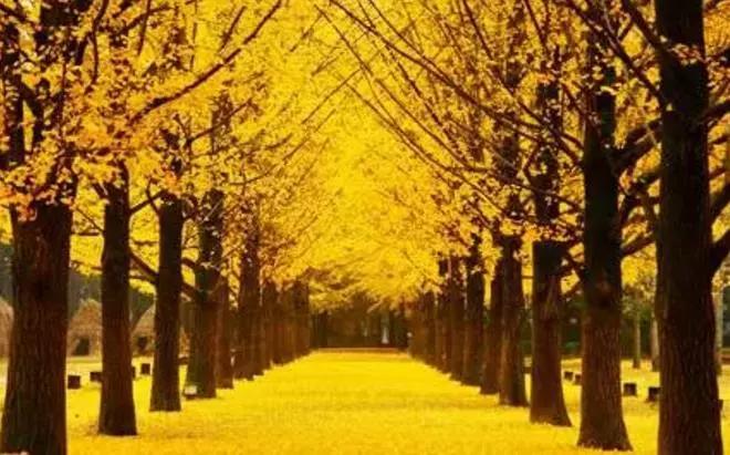 美的浪漫,太湖园博园银杏把这里装扮成了童话