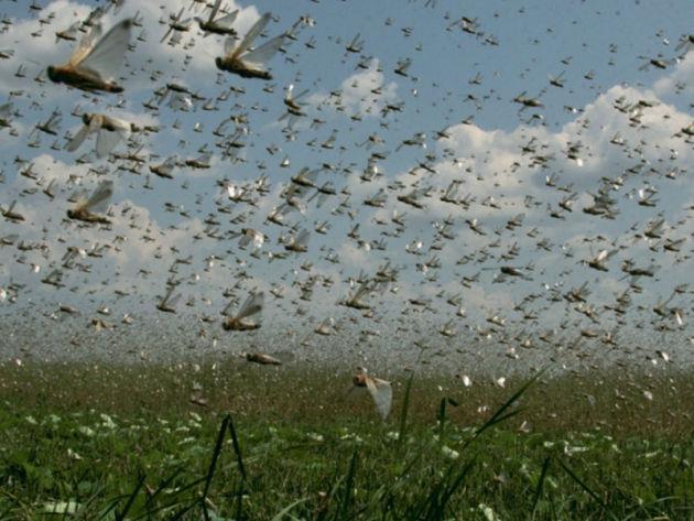 浙江10万只鸭子将代表国家出征巴基斯坦灭蝗