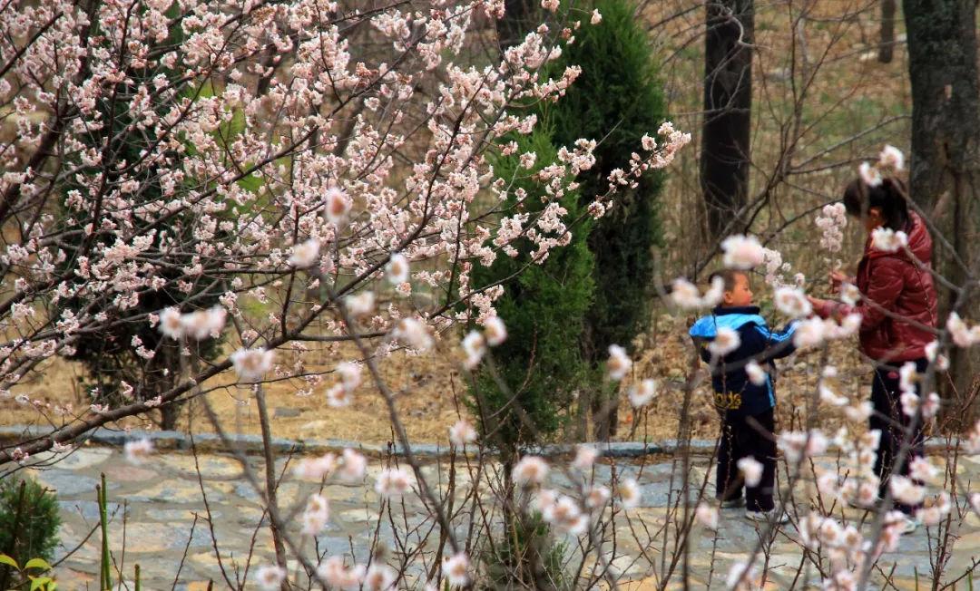 芒砀山万亩杏花绽放春意浓,快来一起赏花吧!