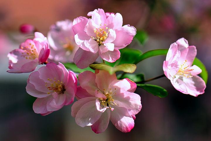 这一季海棠花开,你是否要欠腾冲一场约会?