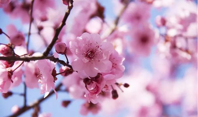 神农山桃花好看吗?有何特色?评价如何?