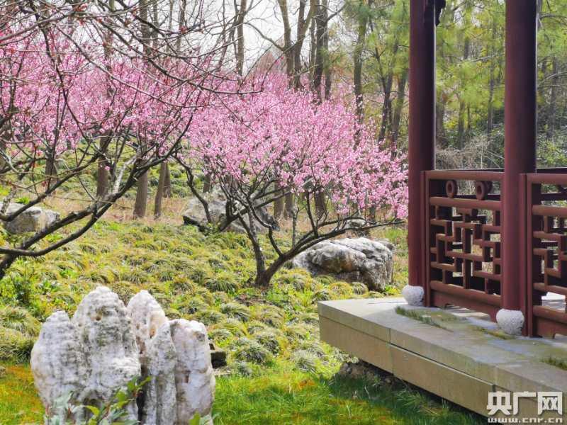 上海海湾国家森林公园恢复开放 晚梅花开正艳赏樱指日可待