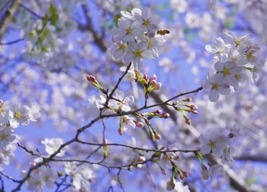 郑州园博园:和最想见的人去看一场樱花雨吧!