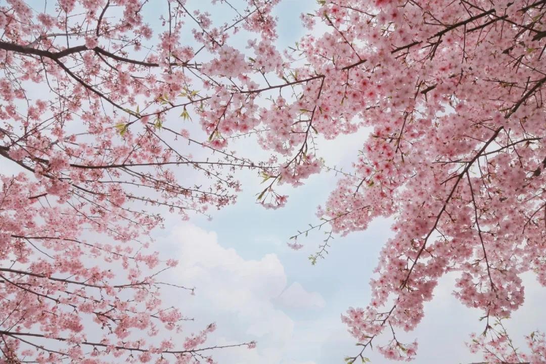上海顾村公园:赏樱好去处,莫错过