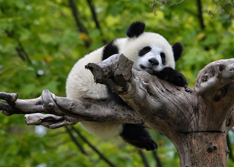 都江堰熊猫乐园门票攻略(时间+票价+交通)