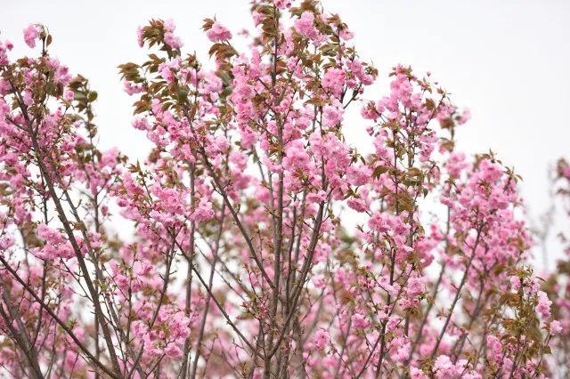 成都金堂宝塔樱花园地址/开放时间/门票价格/交通线路