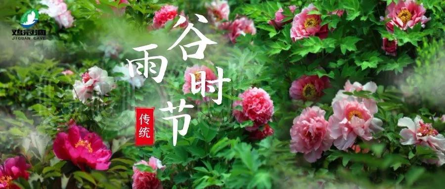 鸡冠洞高山牡丹进入盛放花期 赏花正当时