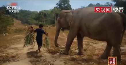 泰国上千头大象挨饿,生存或将面临严峻挑战