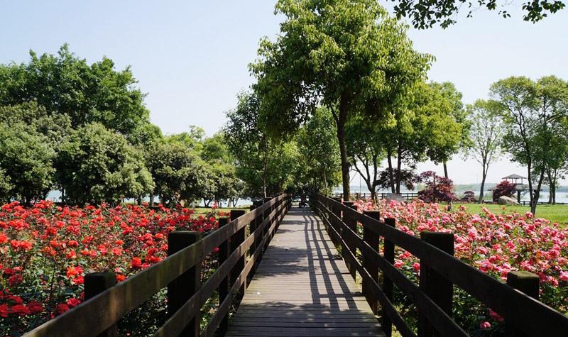 盛泽湖月季园