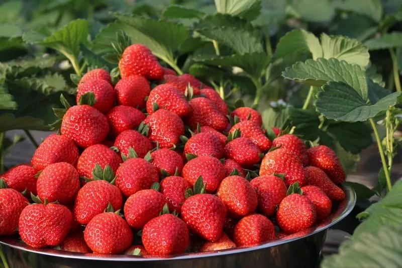 中牟草莓采摘