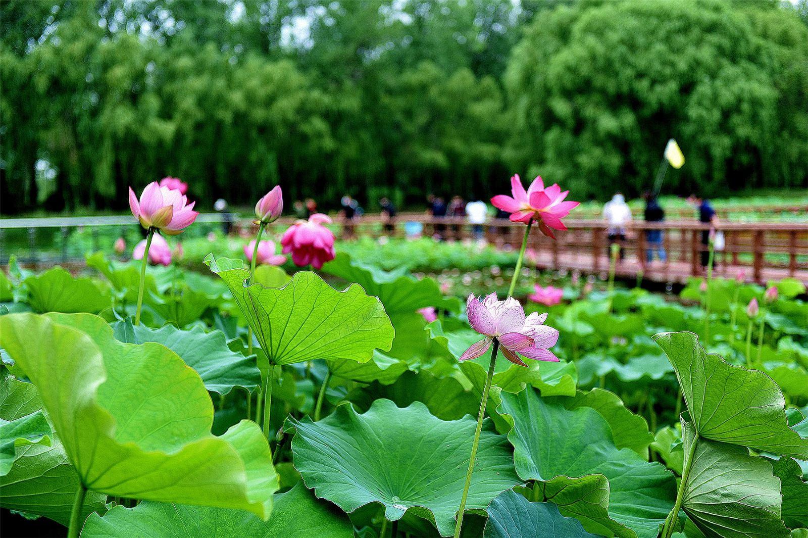 【滕州】微山湖红荷湿地景区