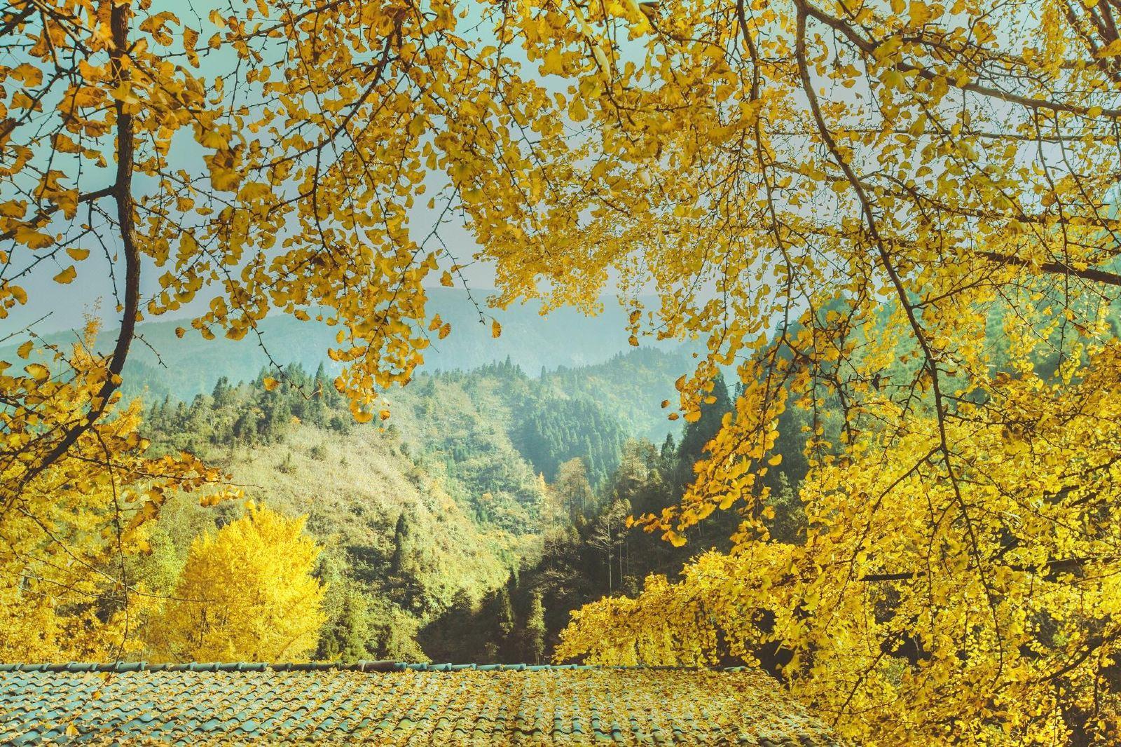 随州中国千年银杏谷