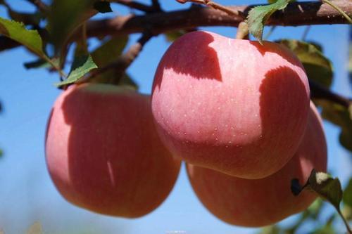 山西临猗苹果